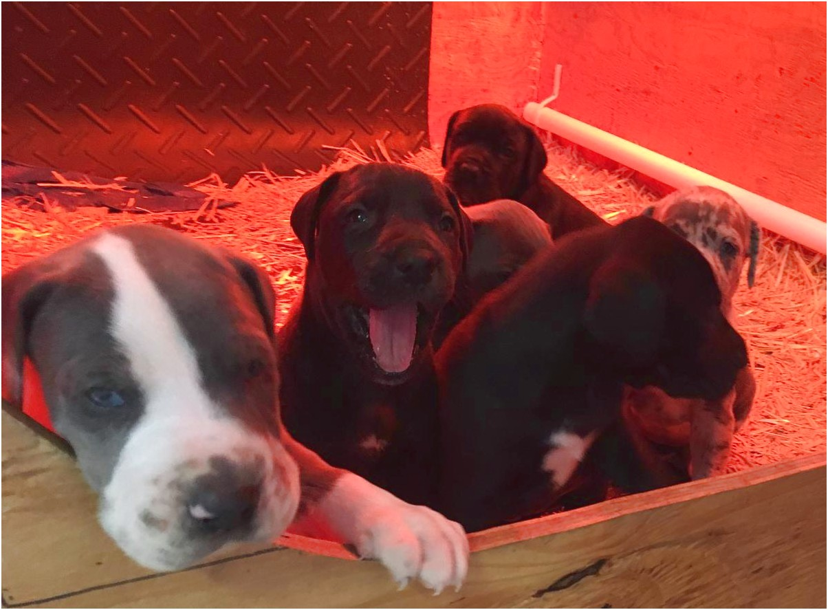 great dane puppies for sale ny