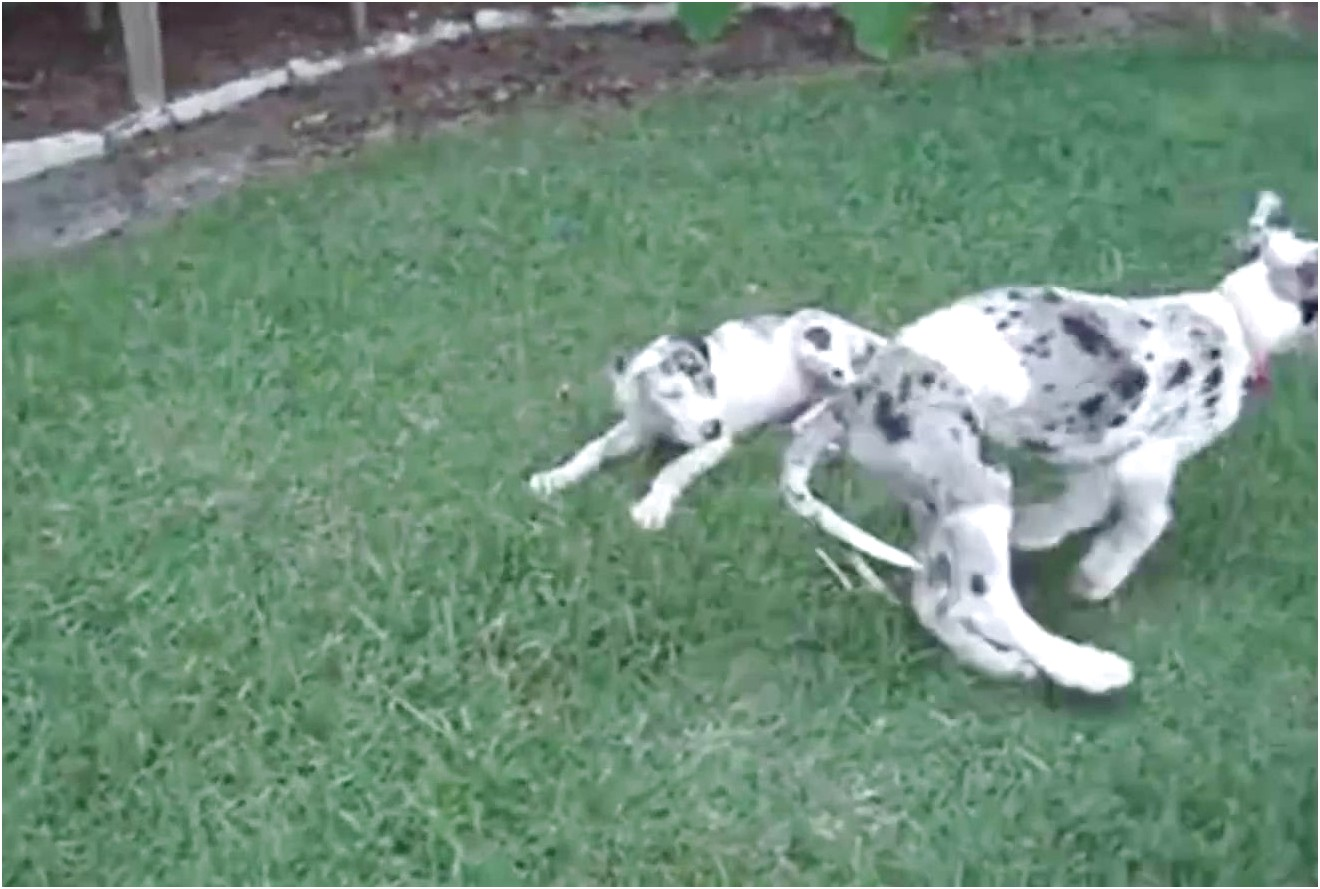 great dane puppies for sale on craigslist