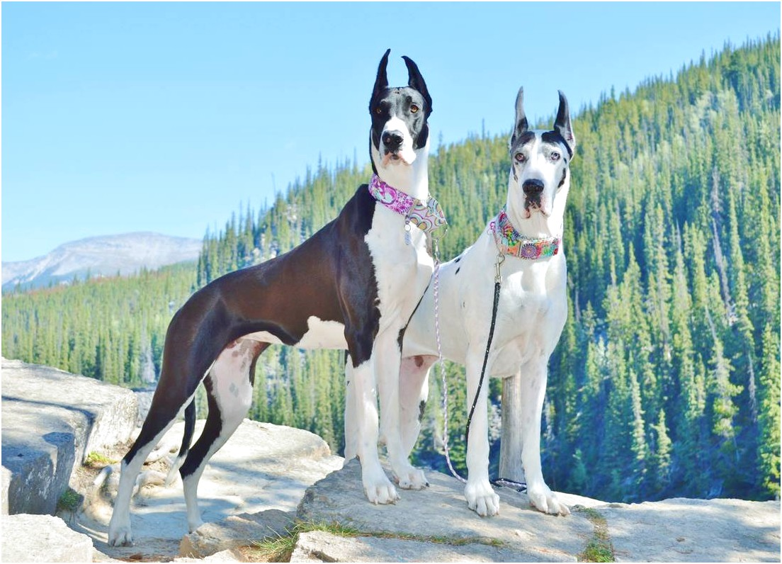 great dane puppies for sale ontario