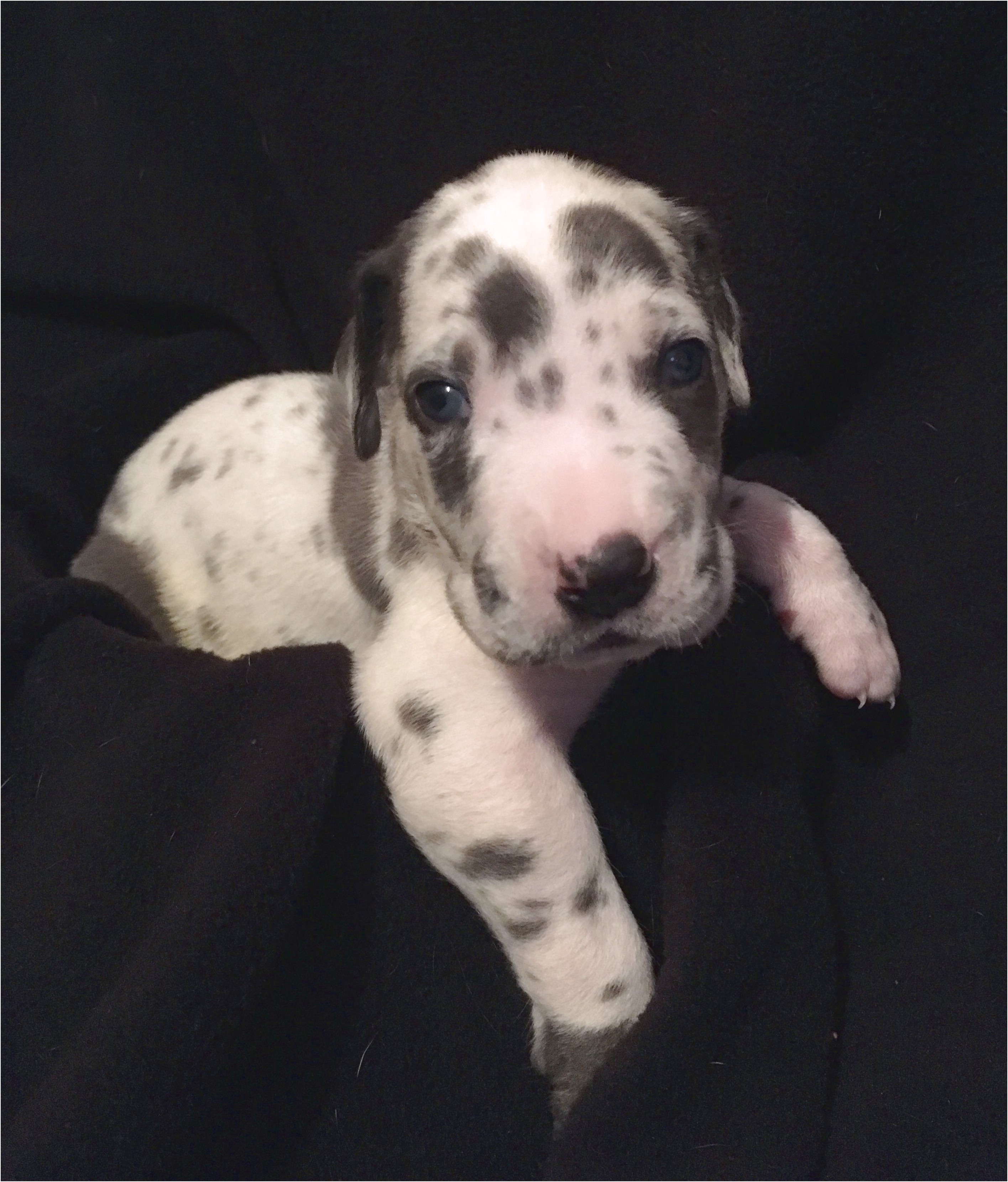 great dane puppies for sale pa