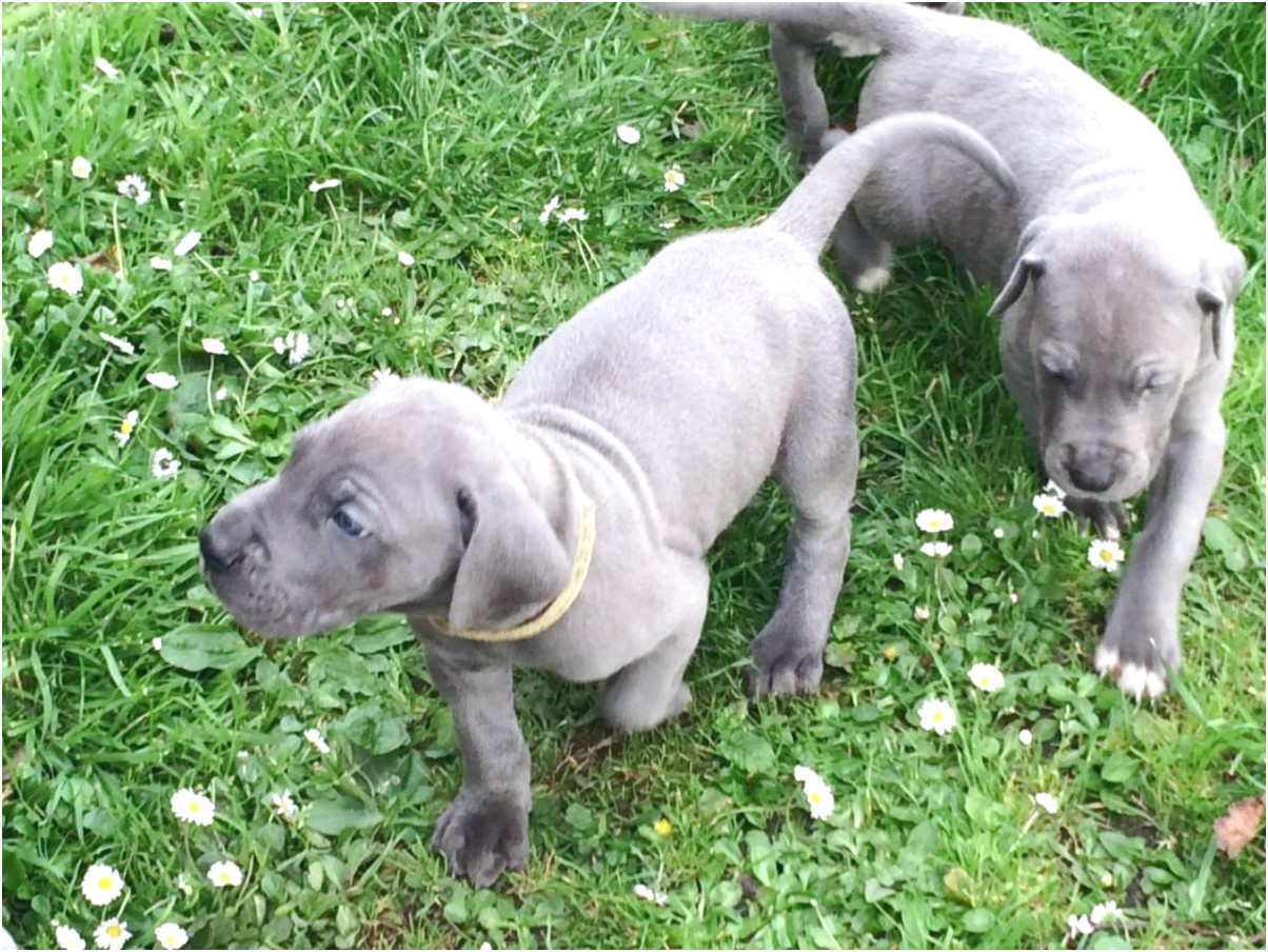 great dane puppies for sale pittsburgh pa