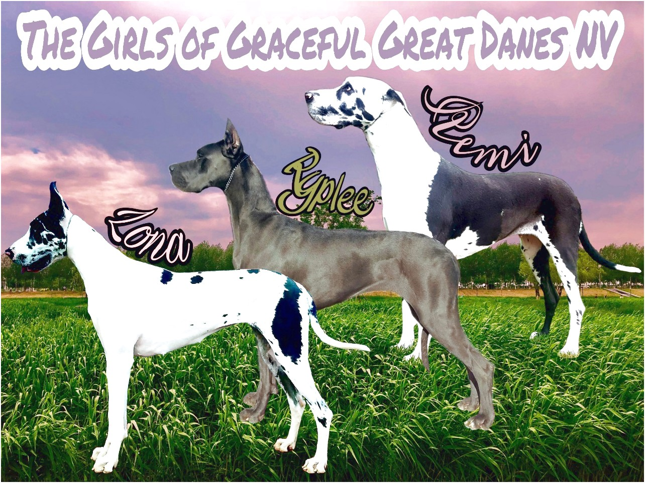 great dane puppies for sale reno nv