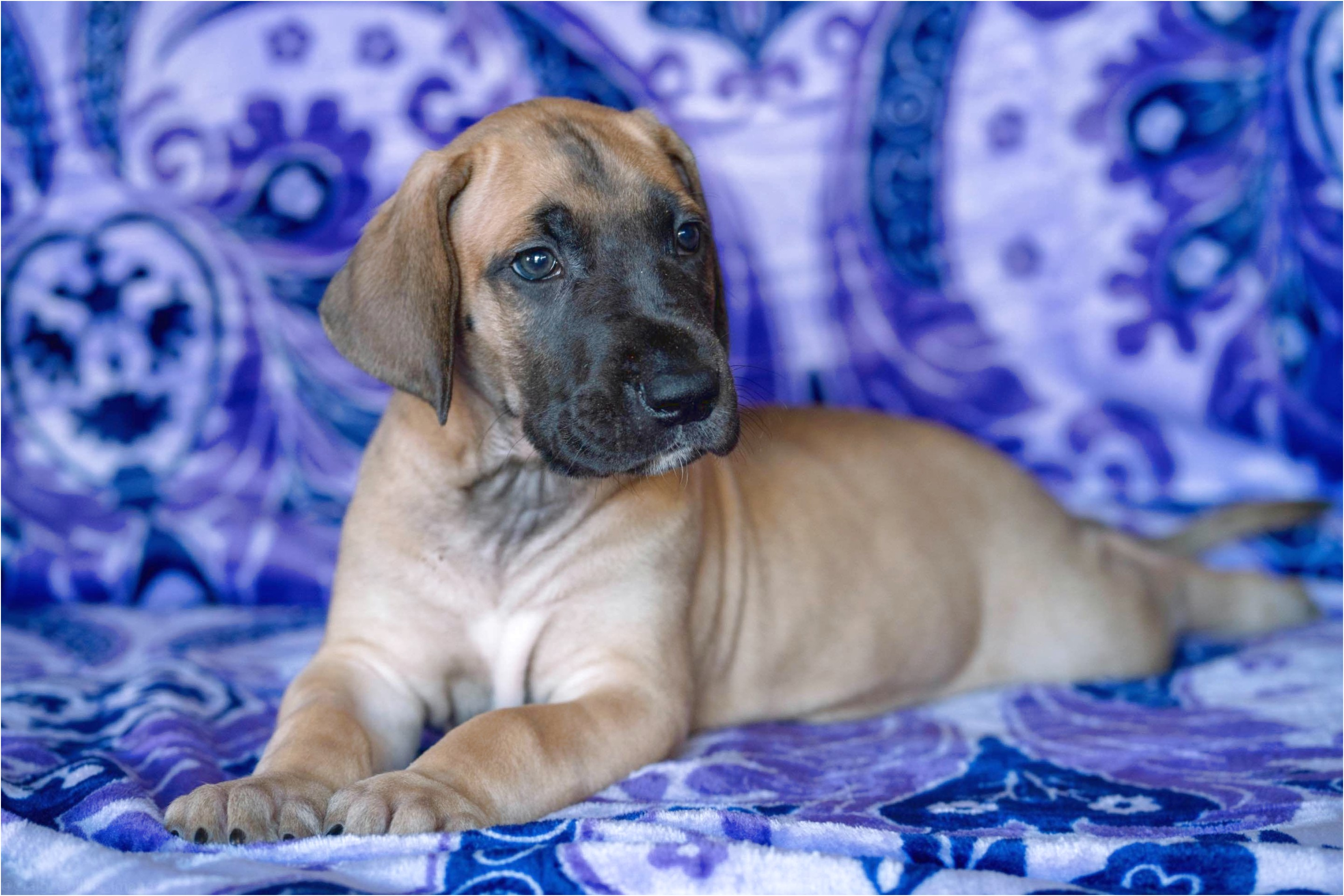 great dane puppies for sale riverside ca