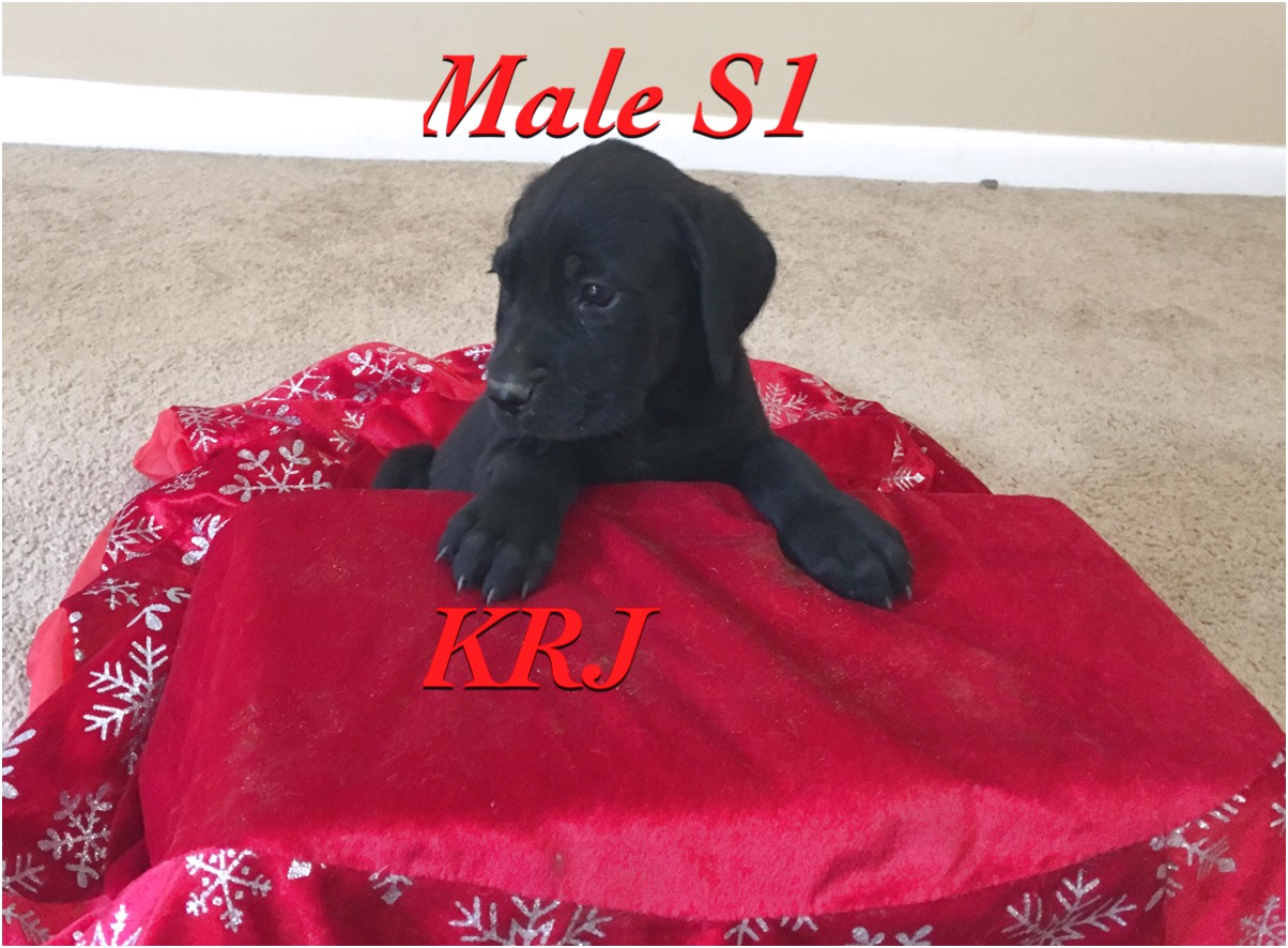 great dane puppies for sale south carolina