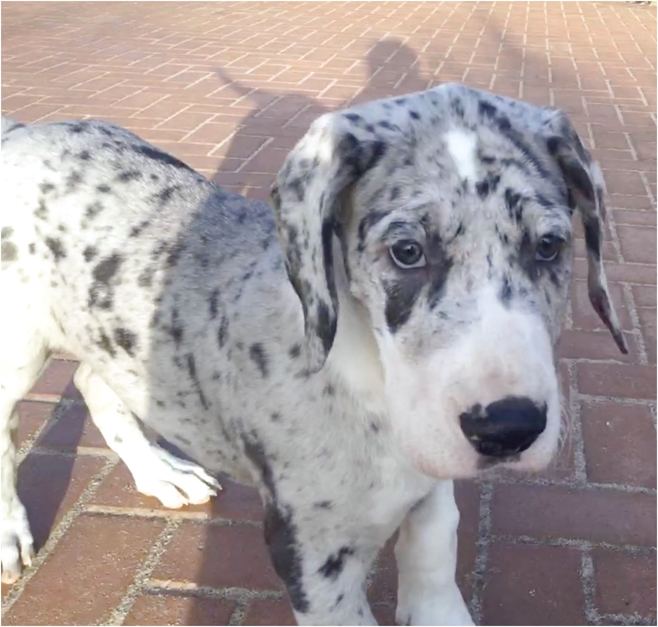 great dane puppies for sale south yorkshire