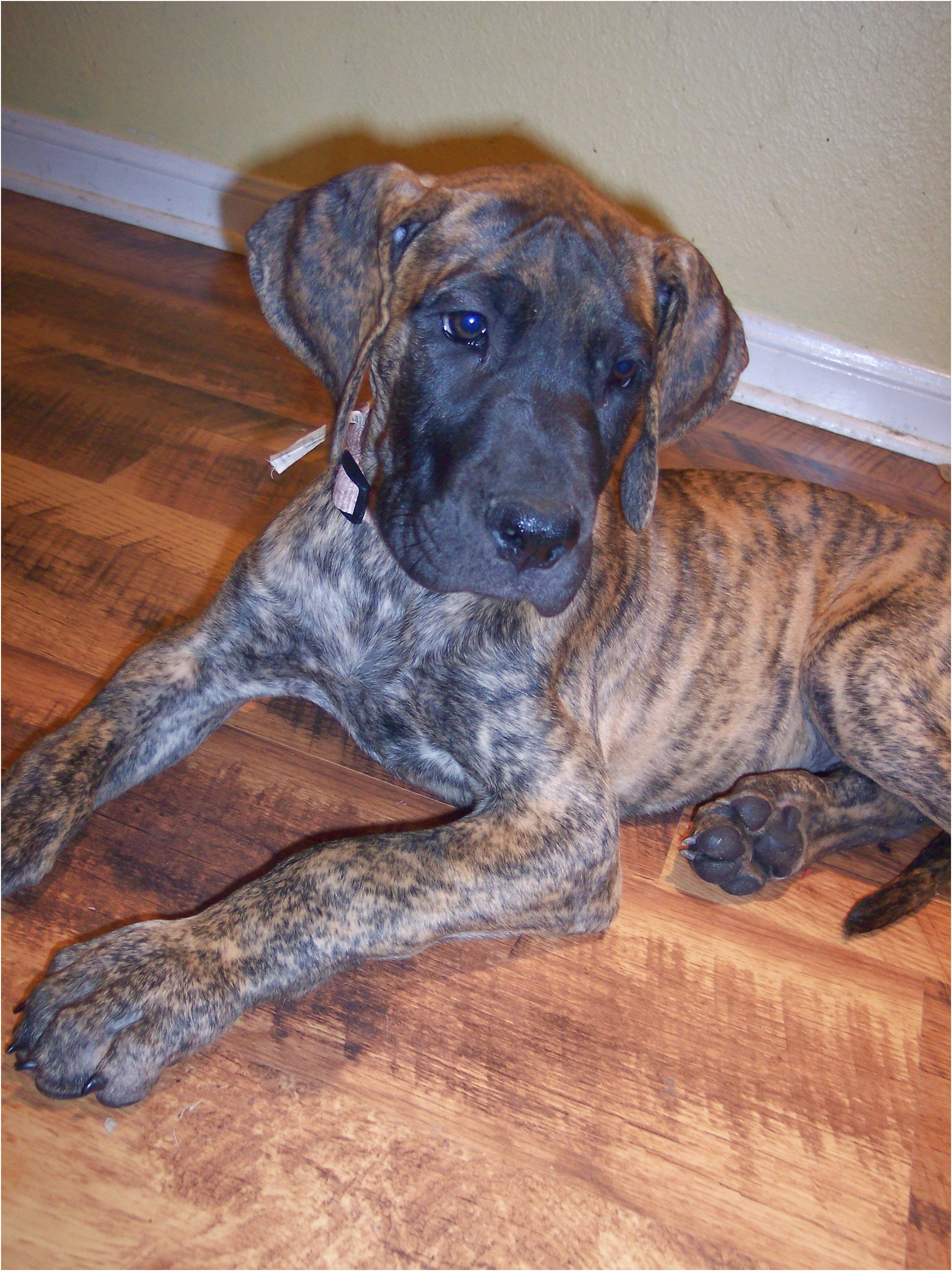 great dane puppies for sale sydney