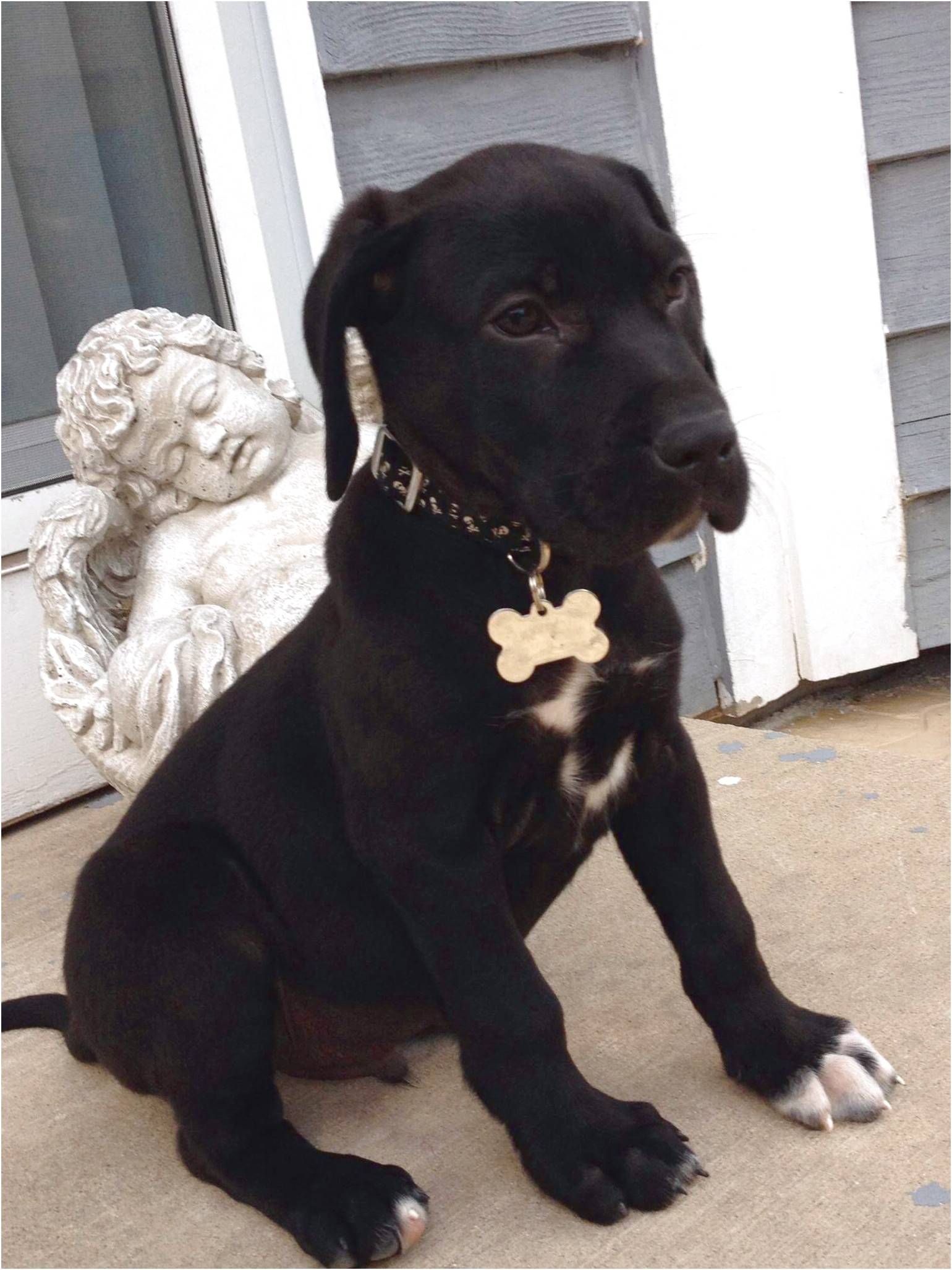 great dane puppies for sale tasmania