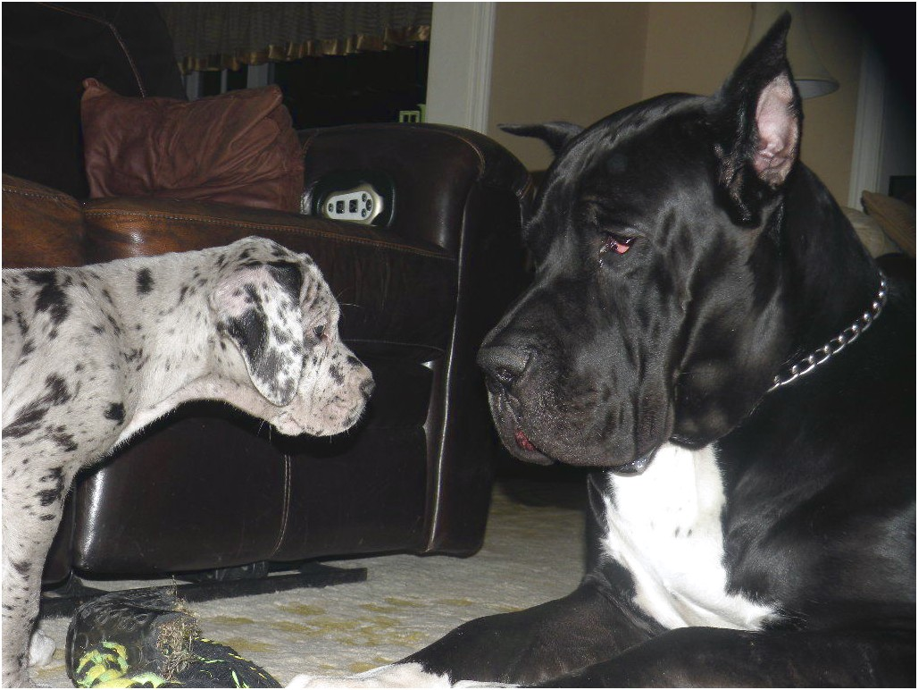 great dane puppies for sale texas
