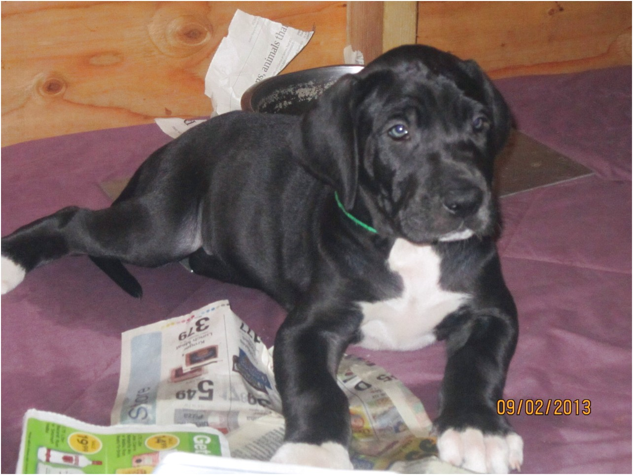 great dane puppies for sale tucson