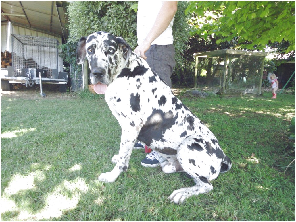 great dane puppies for sale uk kennel club