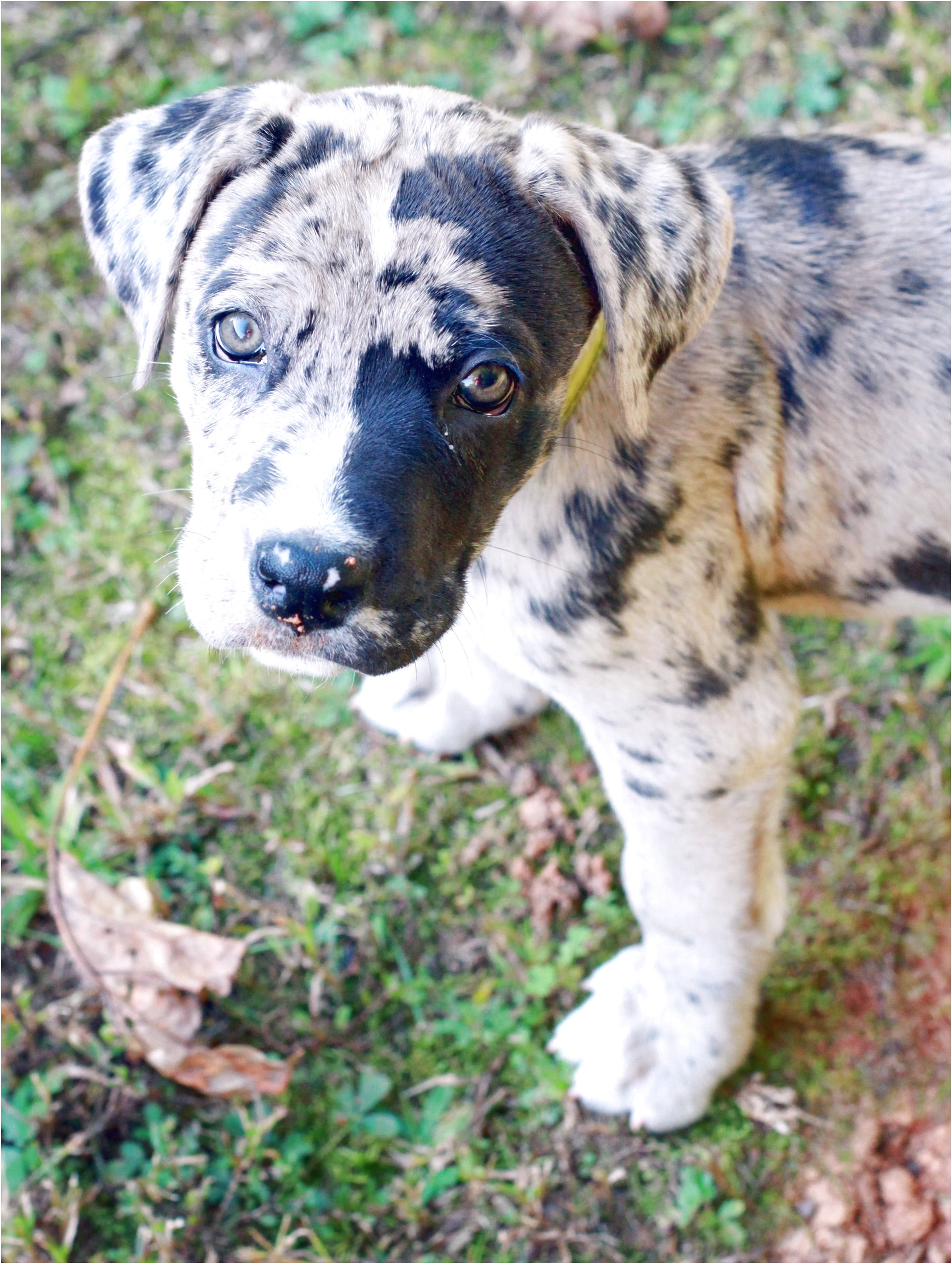 great dane puppies for sale under 100 dollars