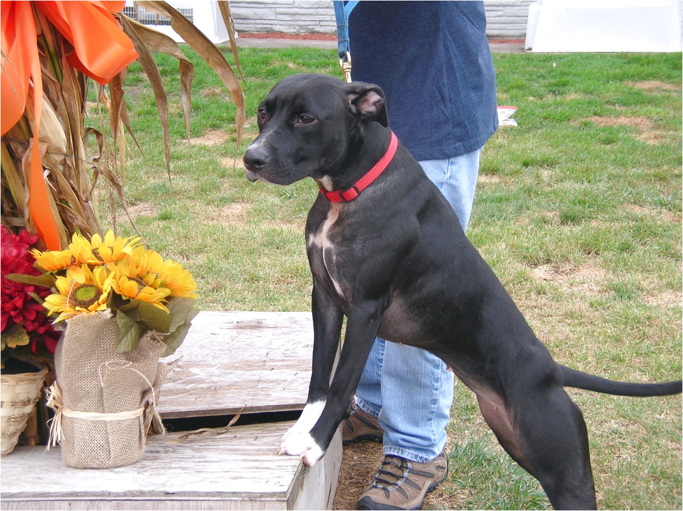 great dane puppies for sale utica ny