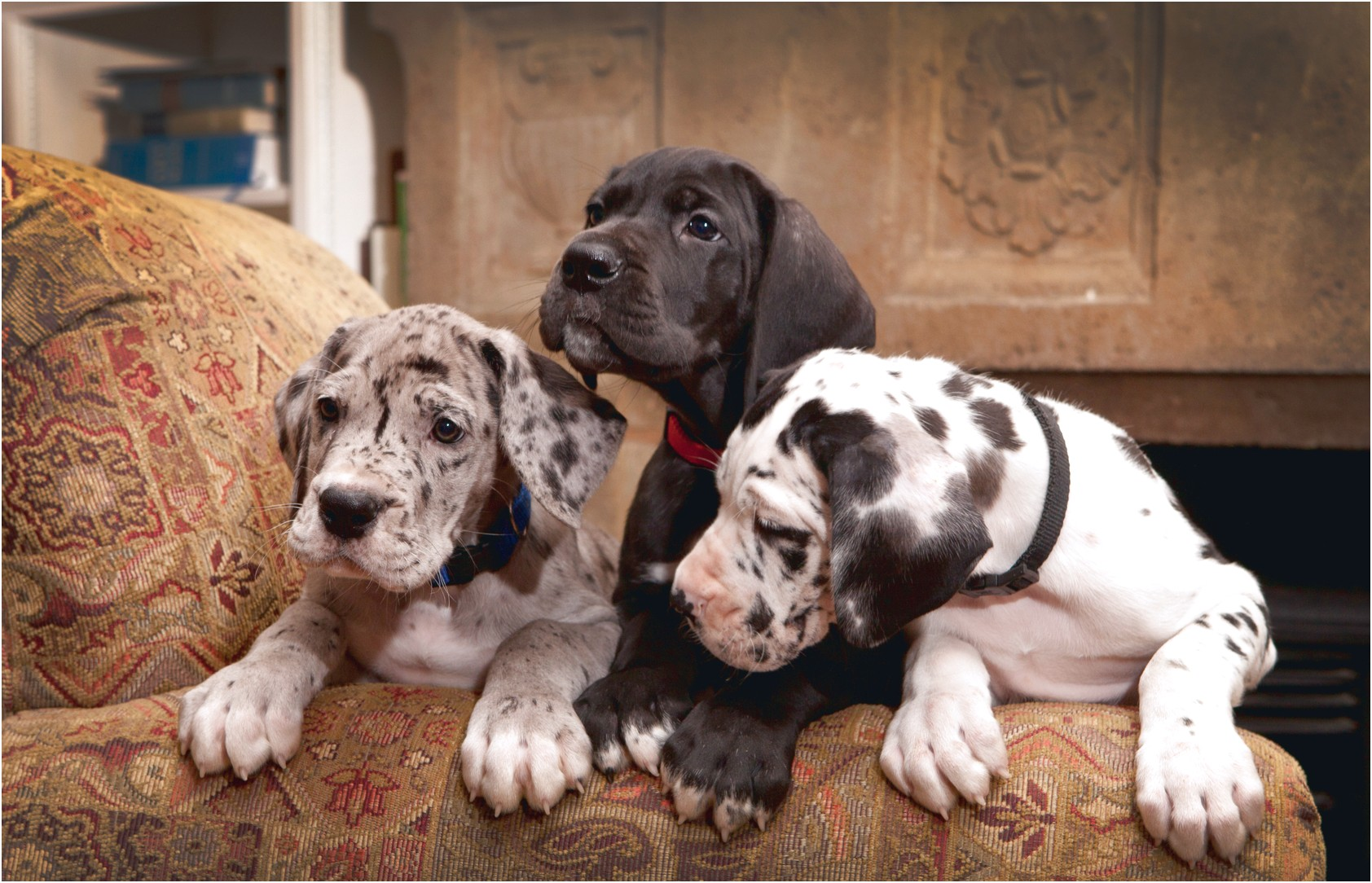 great dane puppies in nj for sale