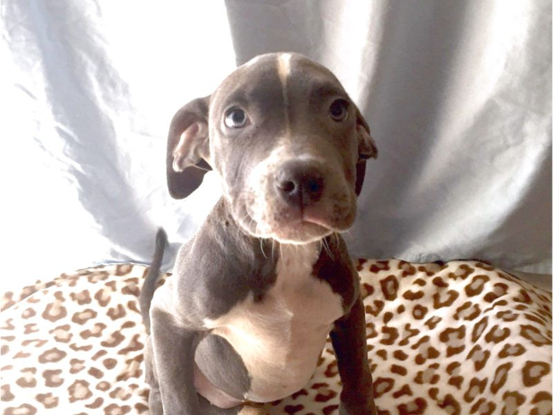 great dane puppies in phoenix az