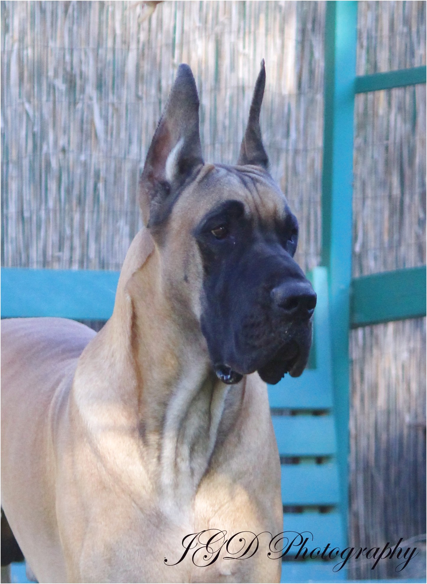 great dane pups for sale in california