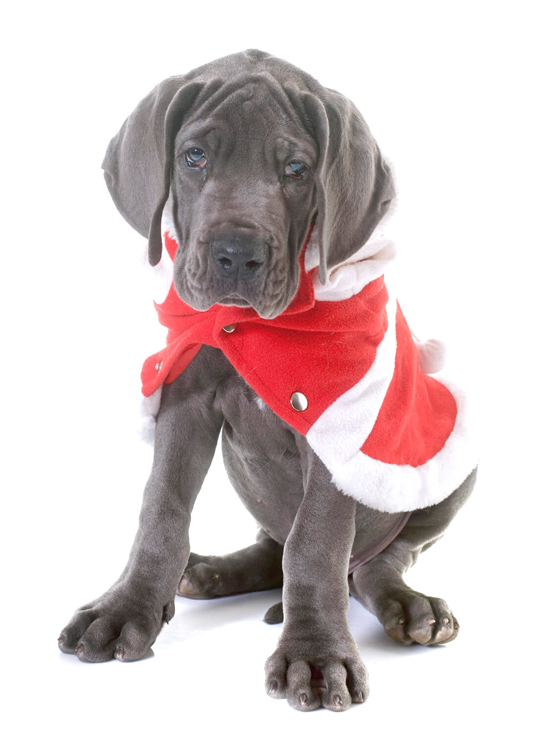 great dane x puppies for sale victoria