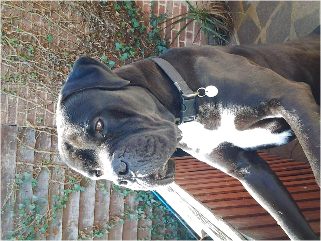 great dane x puppies for sale