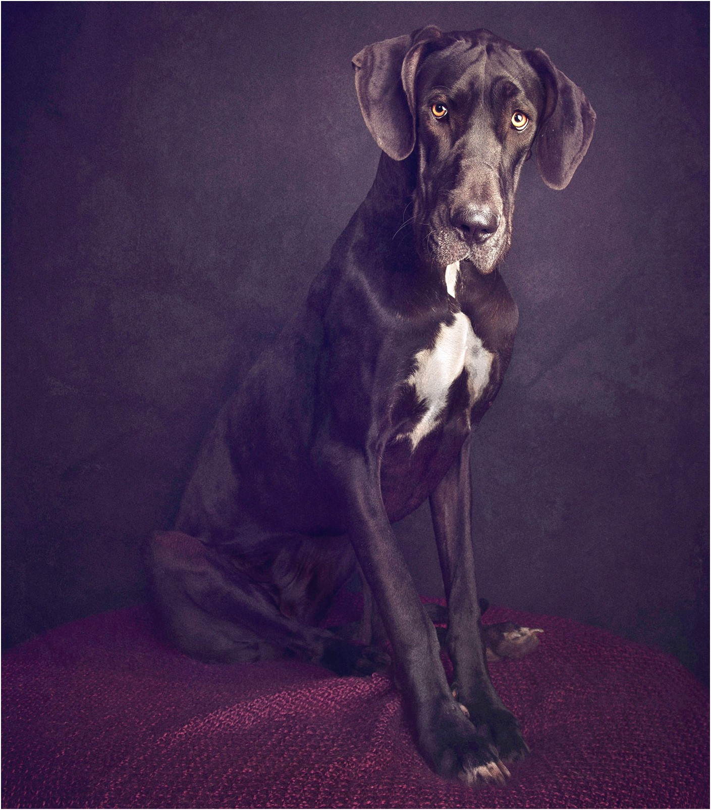 great danes for adoption brisbane