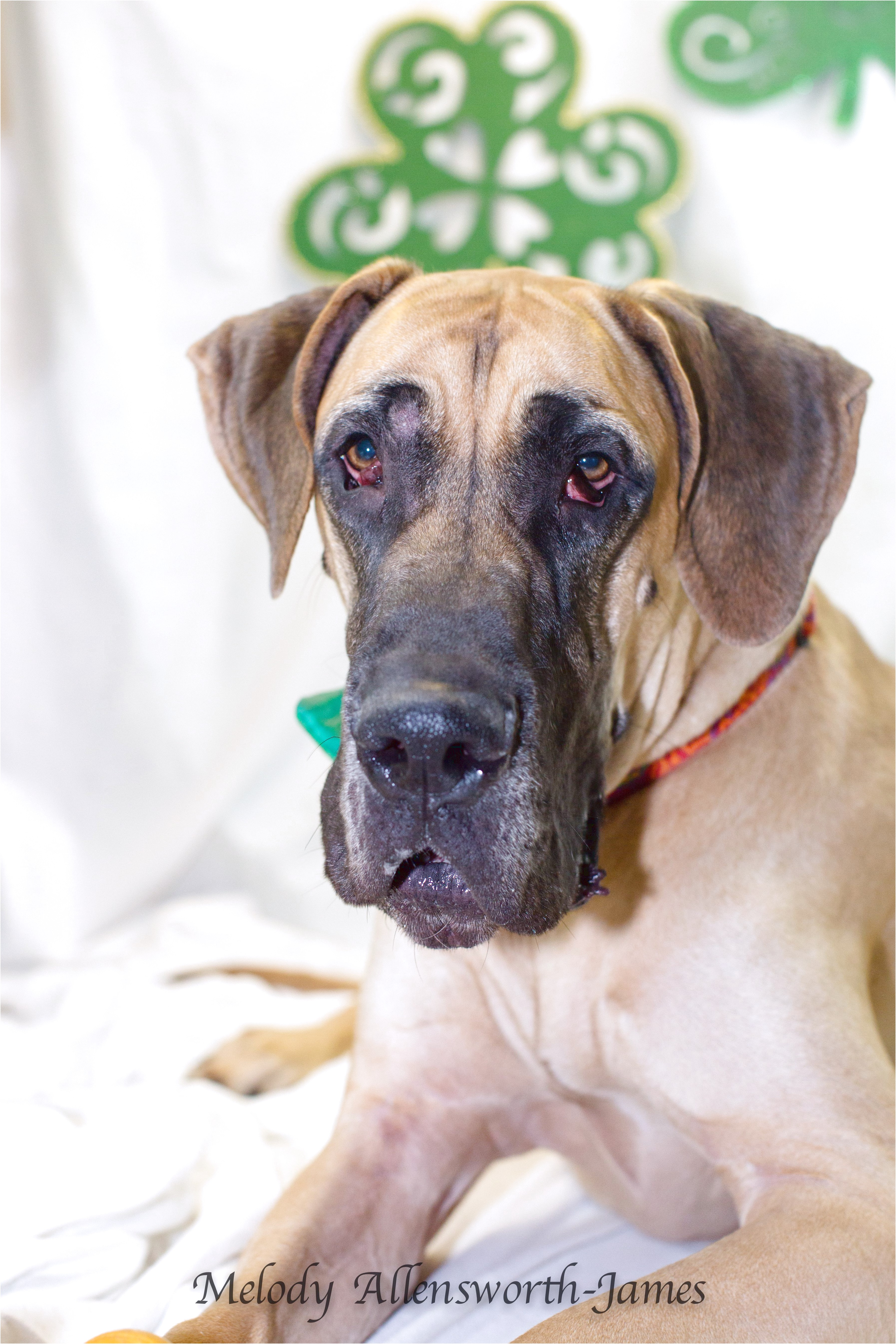 great danes for adoption in arkansas