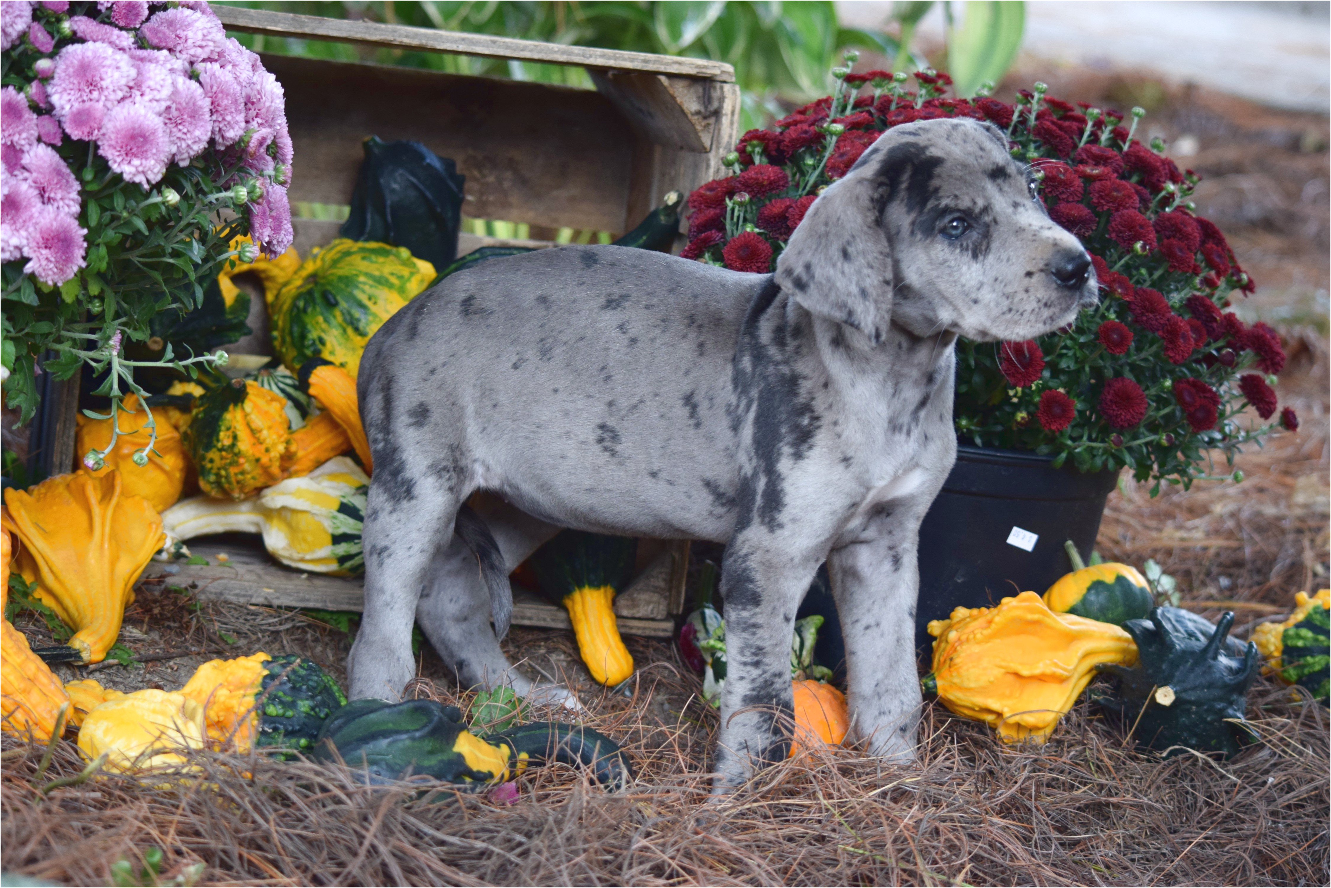 great danes for adoption in ohio