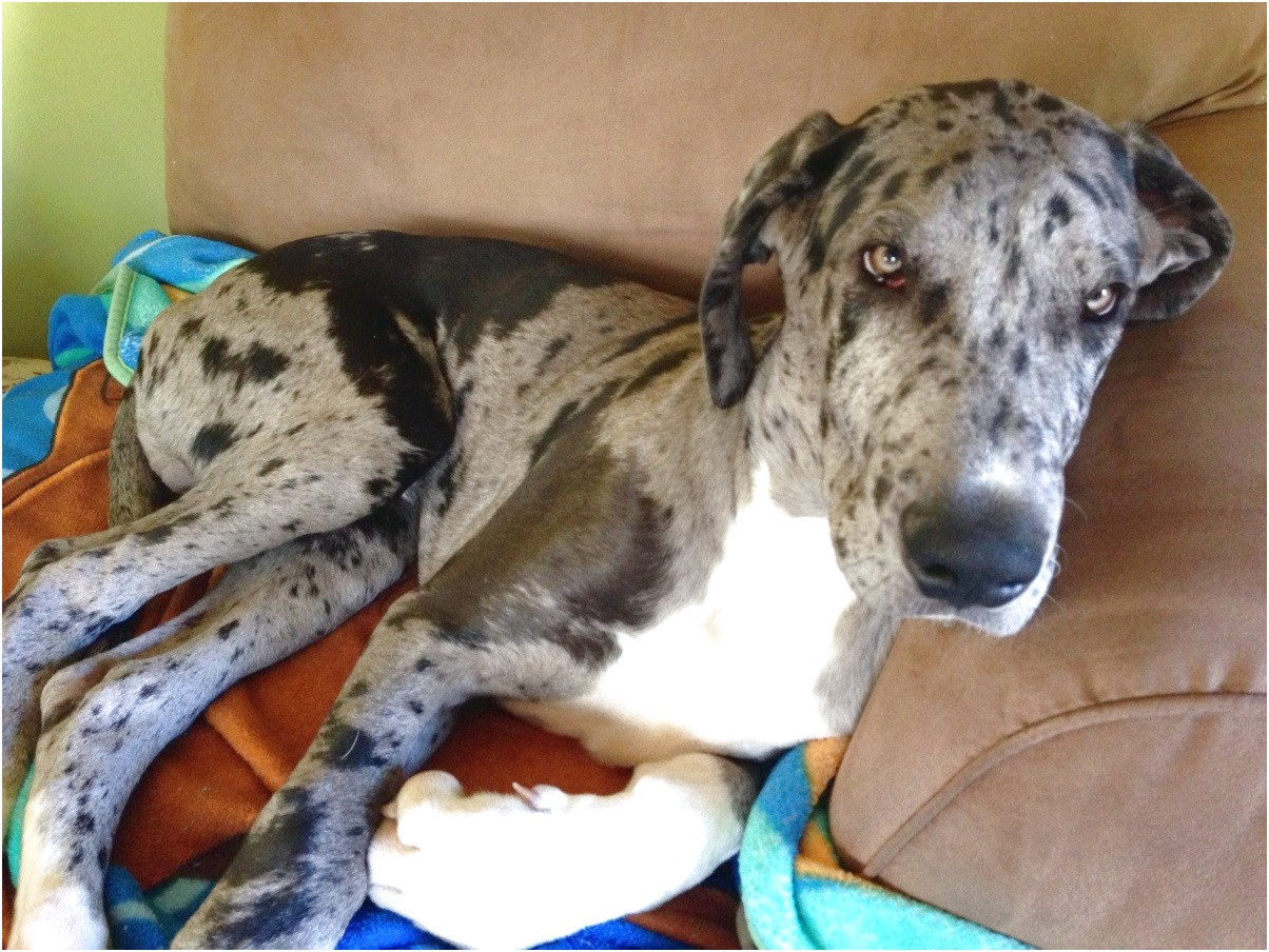 great danes for adoption in sc
