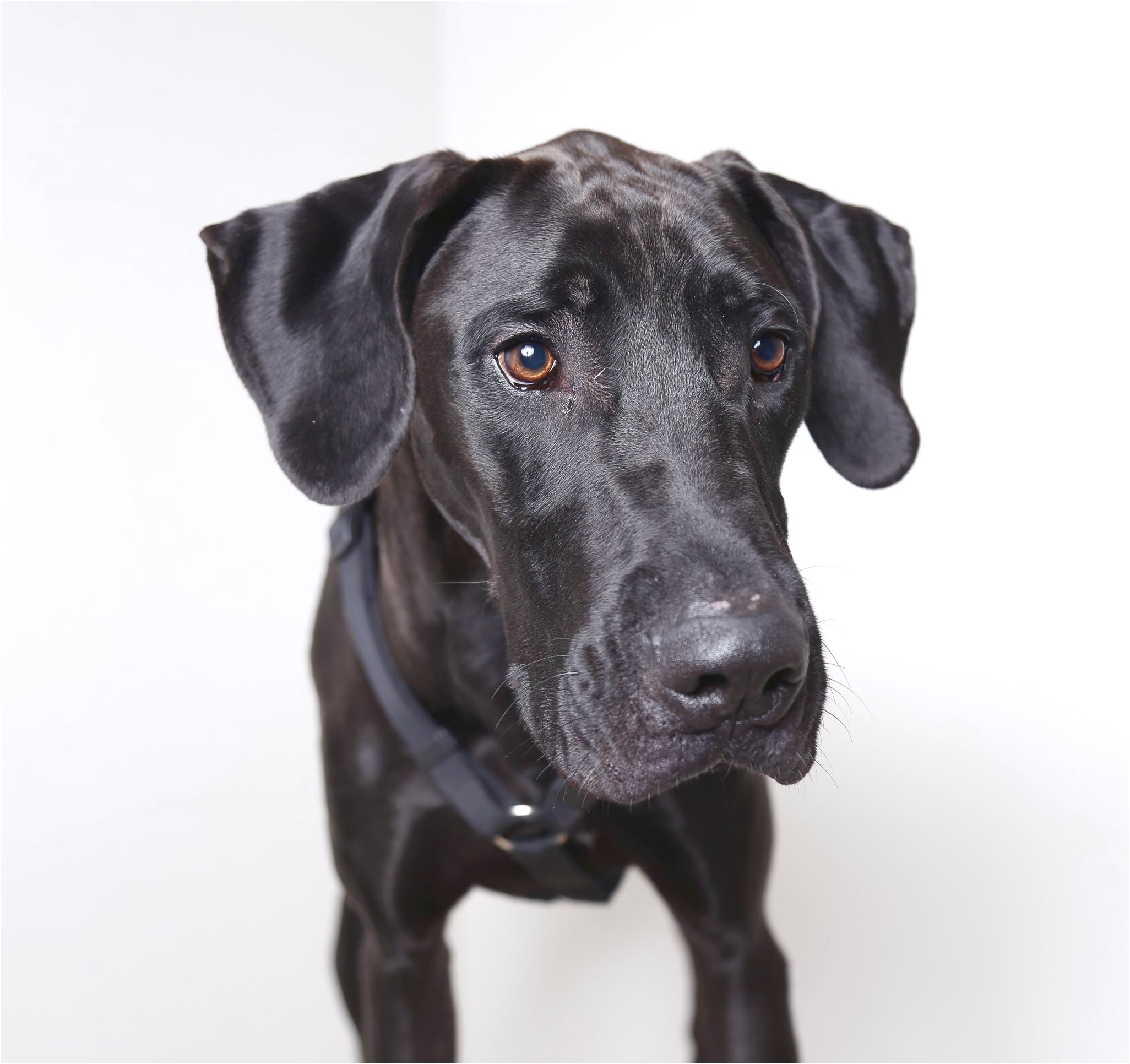 great danes for adoption mn