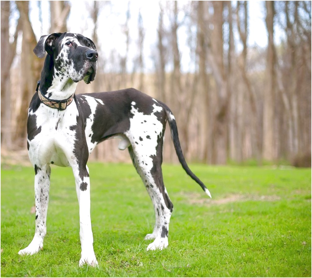 great danes for adoption near me