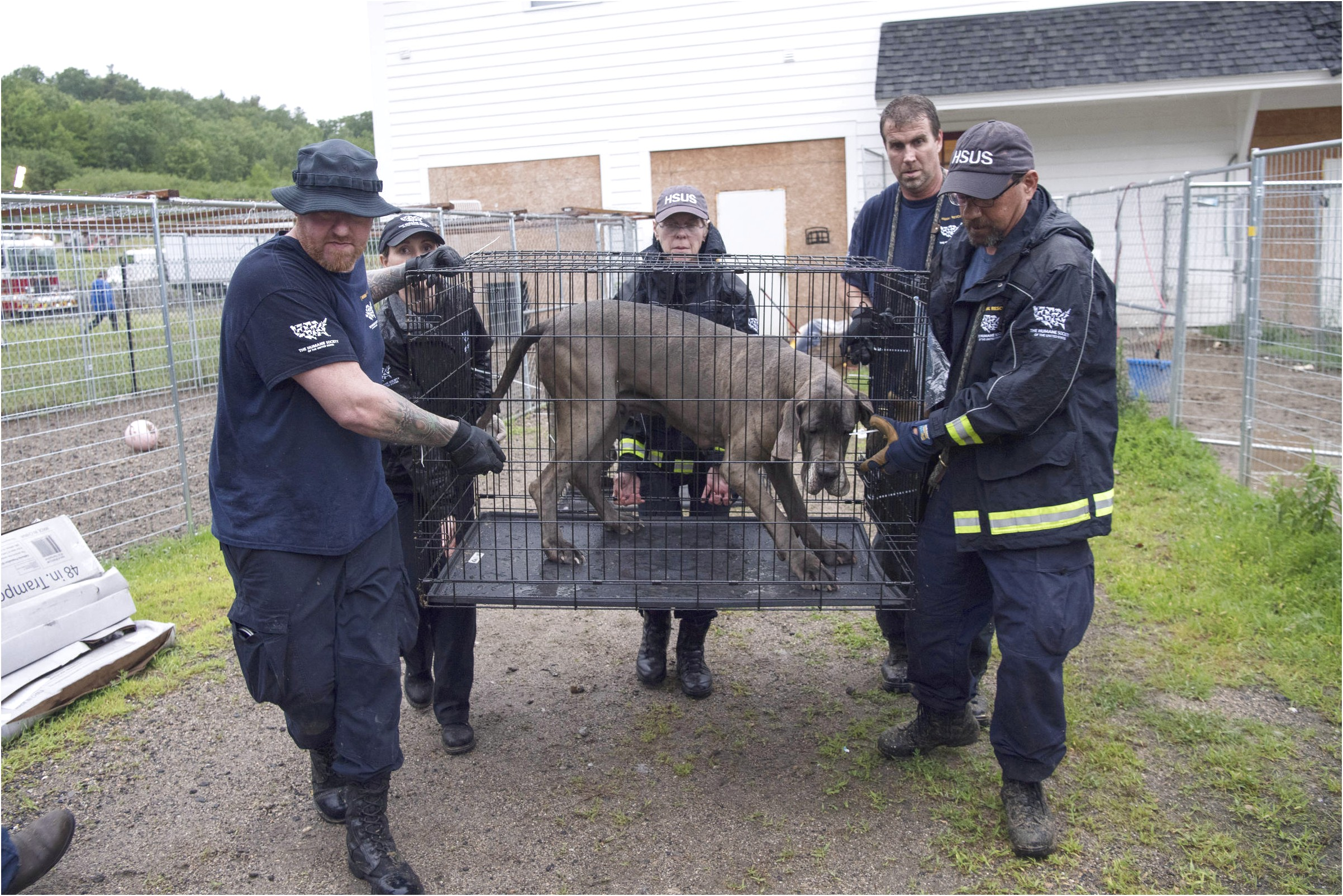 great danes for adoption nh