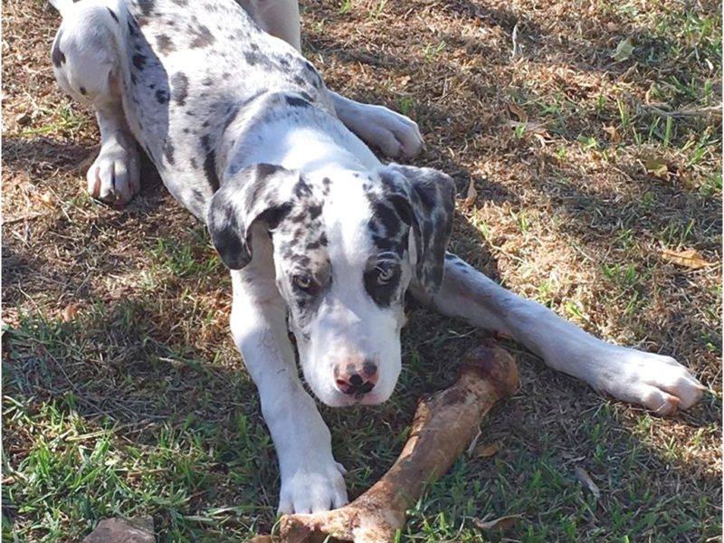 great danes for adoption nsw