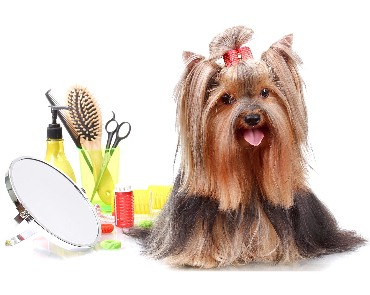 grooming a yorkshire terrier puppy