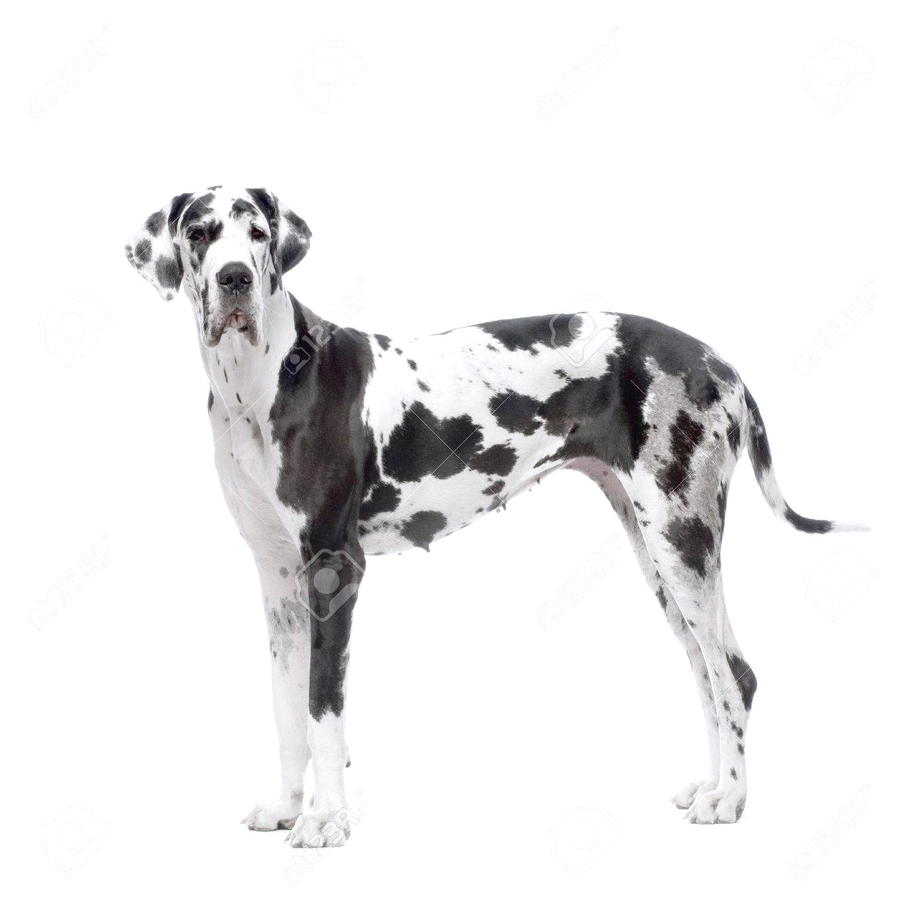 harlequin great dane puppies for sale in il