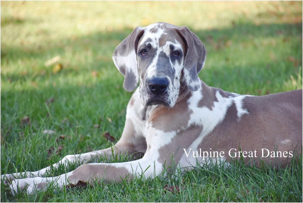 harlequin great dane puppies for sale nj