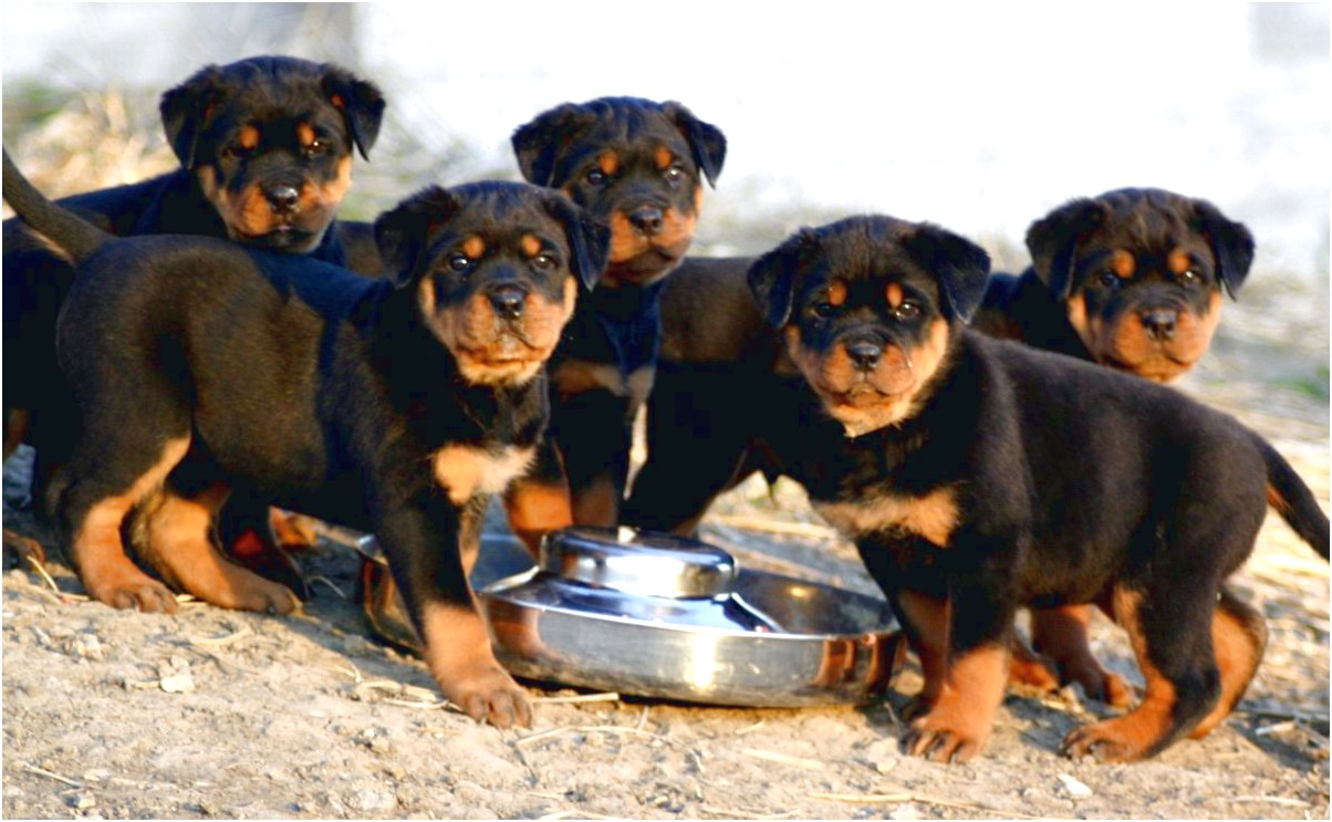 house trained rottweiler puppies for sale