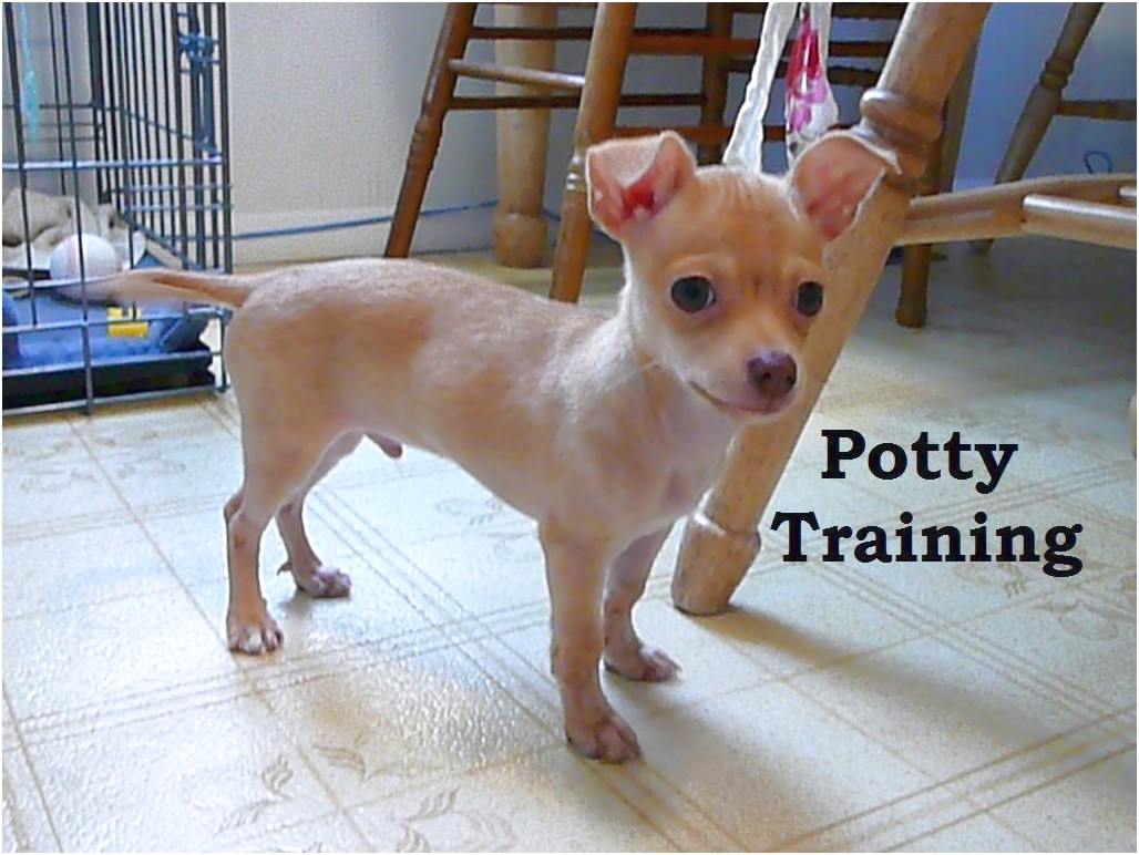how hard is it to train a chihuahua