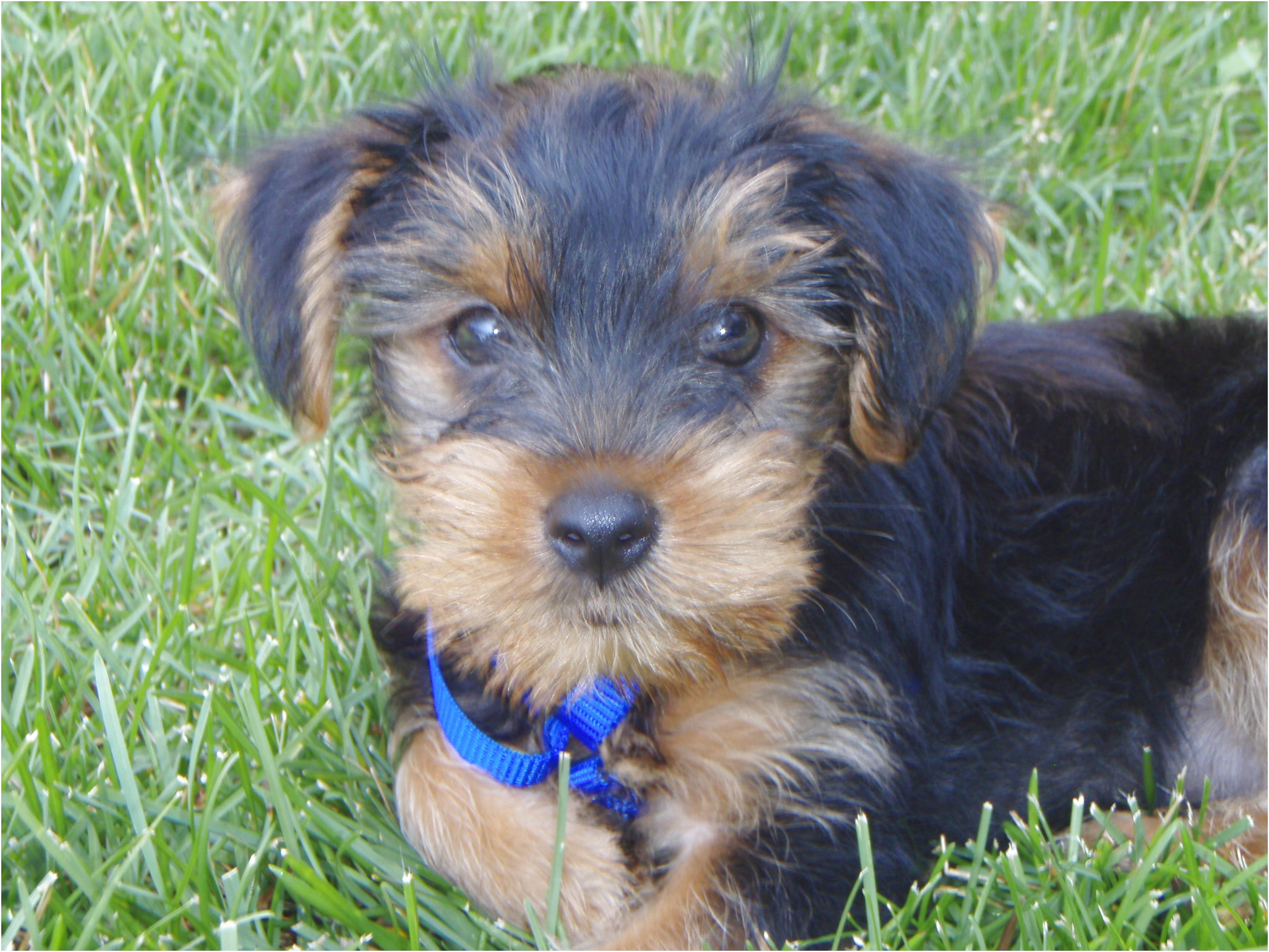 how many pups do yorkshire terriers have