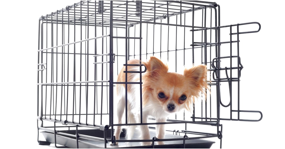 how to crate train a chihuahua at night
