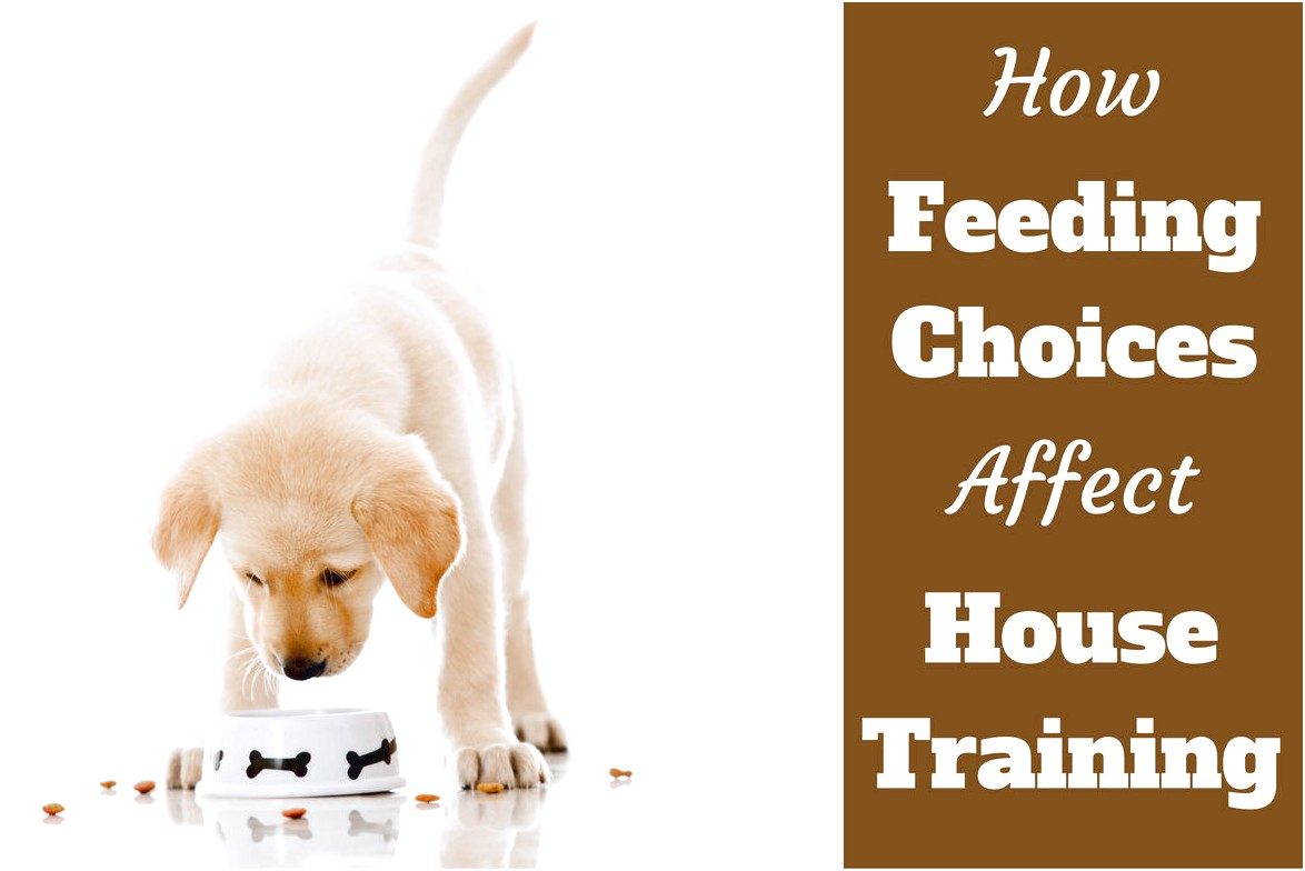 how to house train chihuahua dog