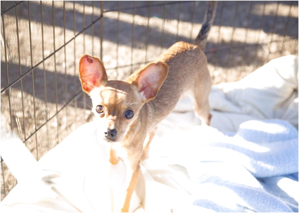 how to kennel train a chihuahua