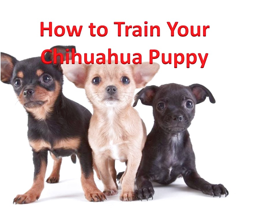 how to lead train a chihuahua