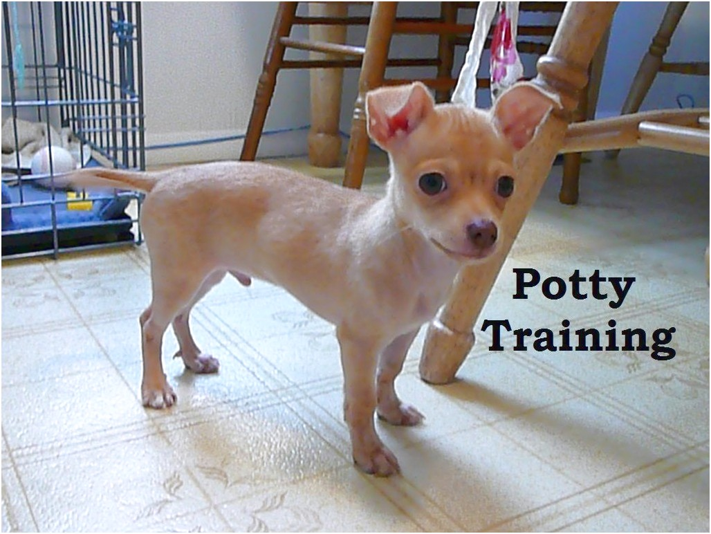 how to potty train a chihuahua pup