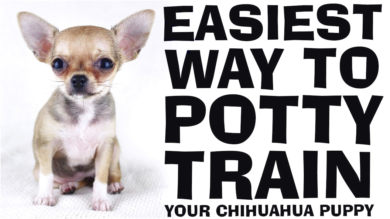 how to potty train a chihuahua puppy