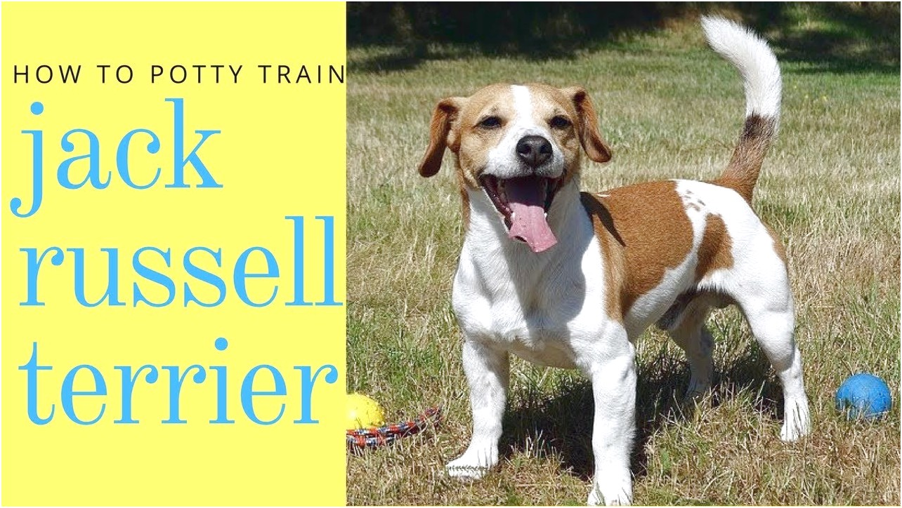 how to potty train a jack russell chihuahua mix