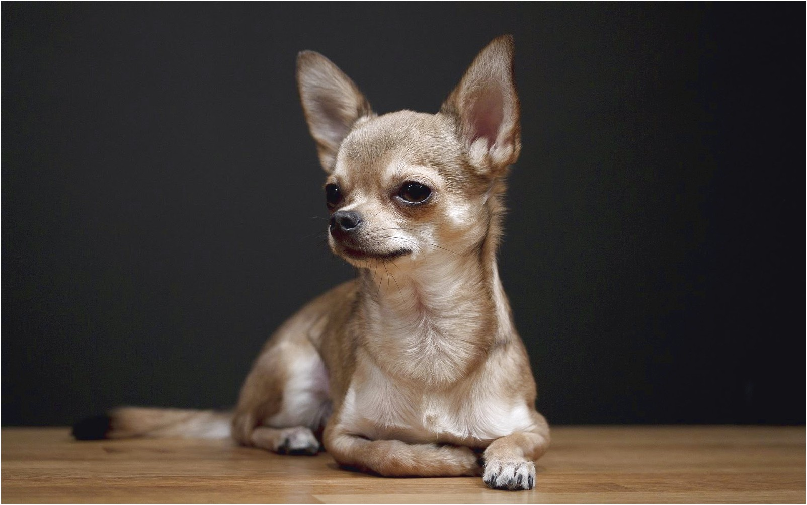 how to potty train a small chihuahua
