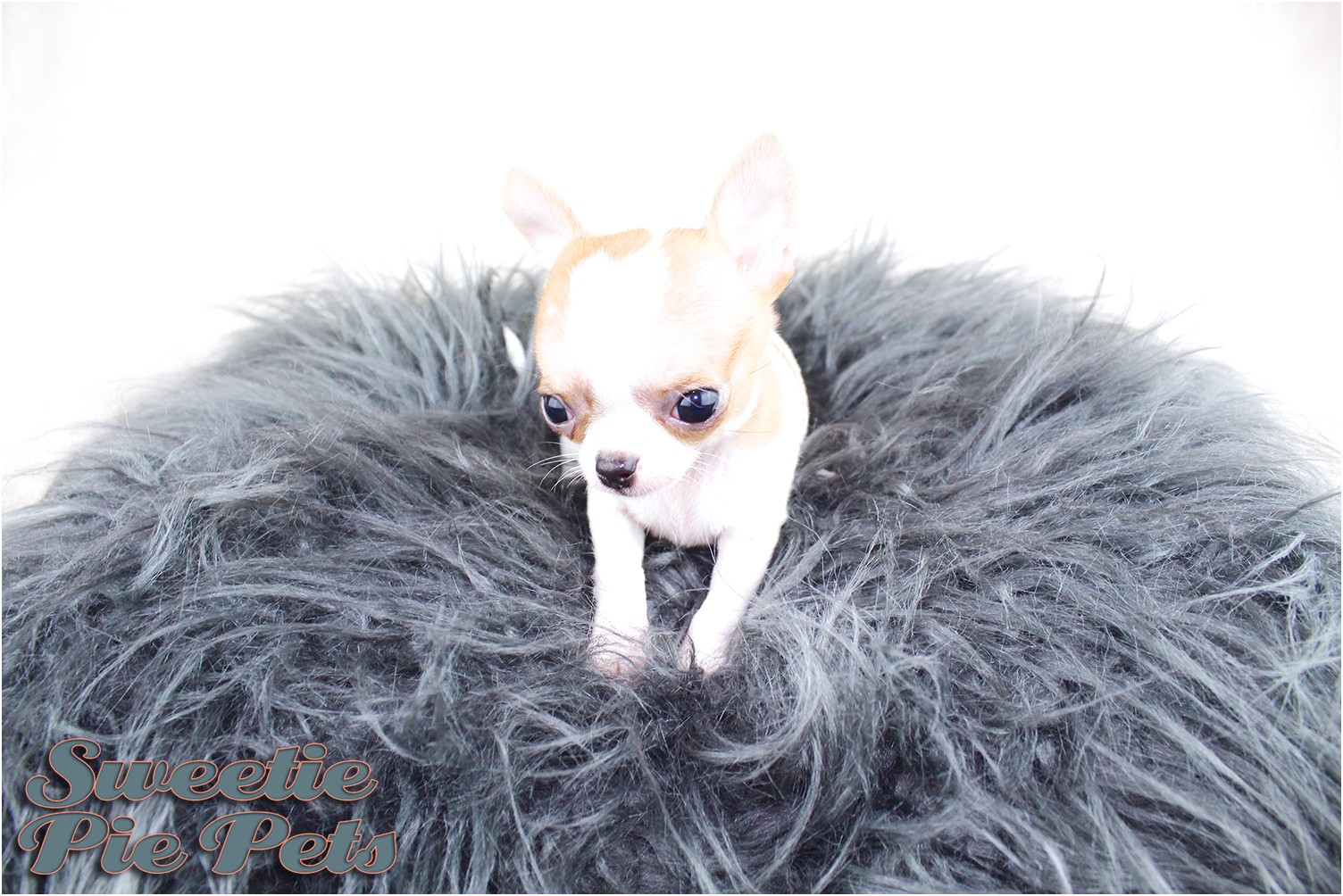 how to potty train a teacup chihuahua puppy