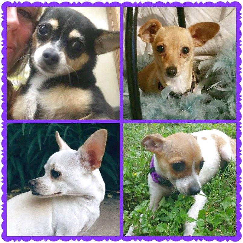 how to re potty train a chihuahua