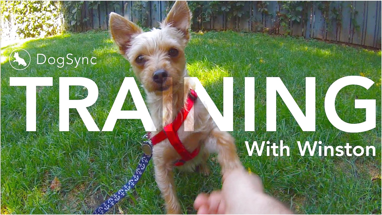how to teach a chihuahua to give paw