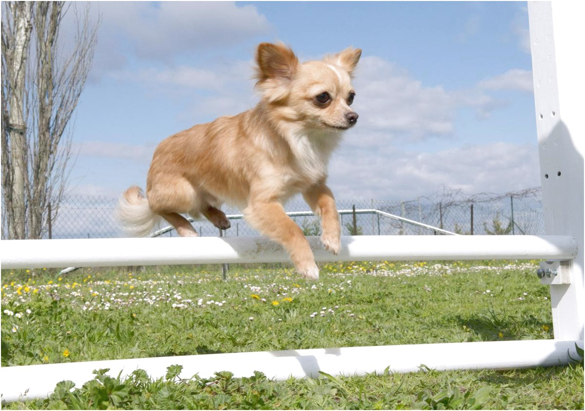 how to teach a chihuahua to jump