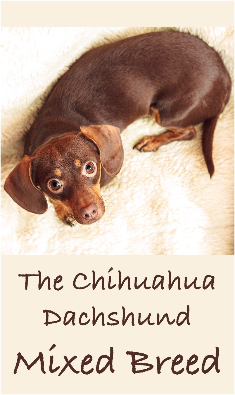 how to train a 1 year old chihuahua