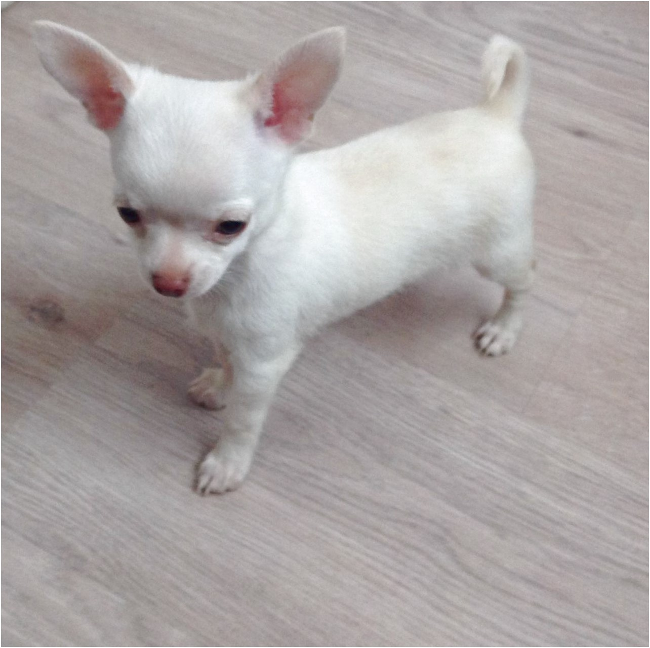 how to train a 4 month old chihuahua