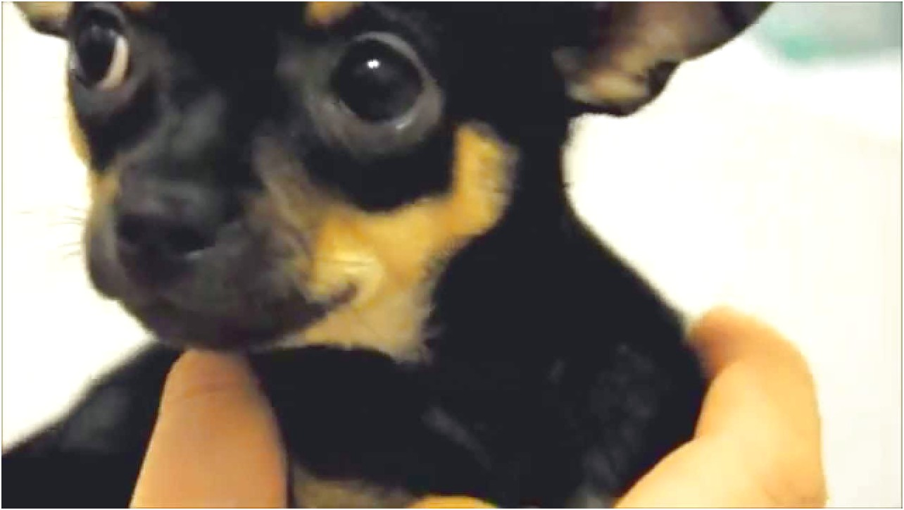 how to train a 8 week old chihuahua
